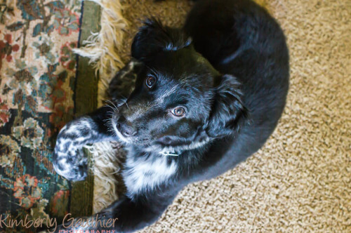 Through the Lens of Kimberly Gauthier, Blue, Puppy, Cattle Dog mix