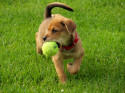 Playing Fetch, Puppy with a Ball